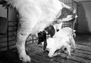界首例胚胎克隆波尔山羊自然交配分娩